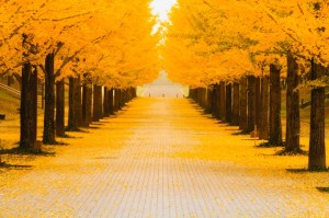 Road lined with ginkgo trees in autumn