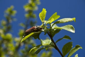 A may beetle resting on a plant. Image by © Dreamstime