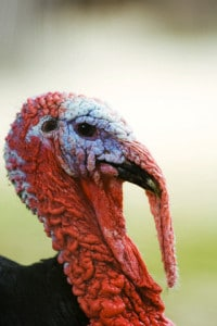 Turkey, close-up