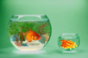Rich and poor goldfish in contrasting goldfish bowls