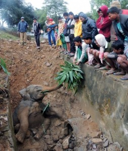 Elephant calf falls into a ditch - Assam