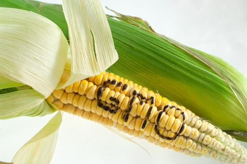 The Human Cost of the EU's Anti-GMO Policy •
